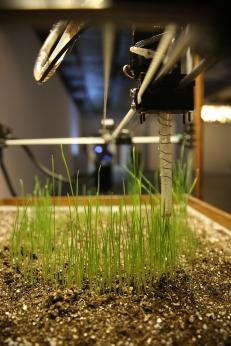 Eisenia wheathgrass